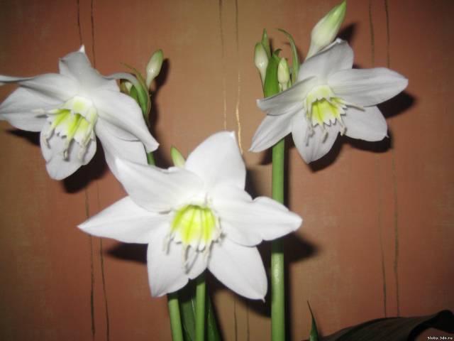 вдовий цветок фото: